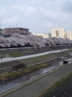 柏尾川沿いの桜並木